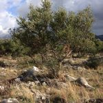 our olive trees 1